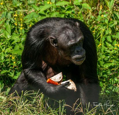 Nach Ngamba Island kommen Schimpansen, die verwaist oder verletzt sind, oder aber bei illegalen Handelstransaktionen beschlagnahmt wurden.