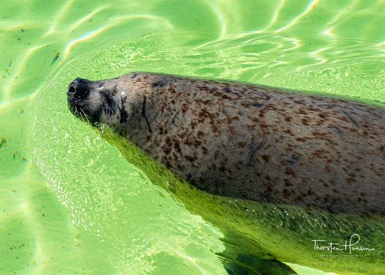 Doch vor allem die vielen Meerestiere machen die große Faszination von Ecomare aus: In Ecomare tummeln sich Seehunde, Schweinswale und Kegelrobben..