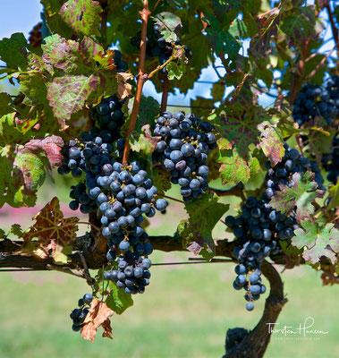 Es werden Trauben aus Tannat, Cabernet Sauvignon, Cabernet Franc, Merlot, Petit Verdot, Pinot Noir, Malbec, Arinarnoa , Sauvignon Blanc und Chardonnay produziert