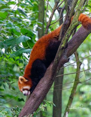 Sie sind in Mischwäldern mit dichtem Unterholz aus Bambusdickicht beheimatet