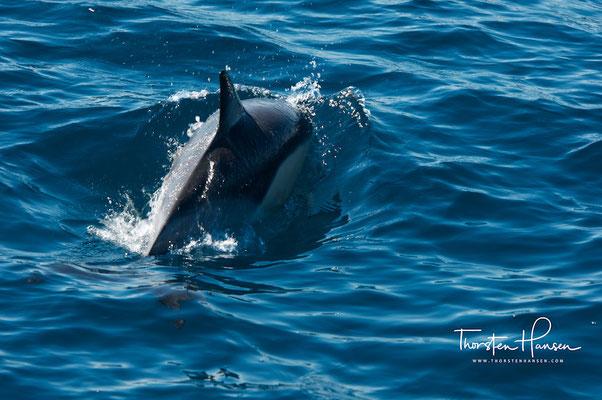 Delfine Im Hauraki Golf vor Auckland