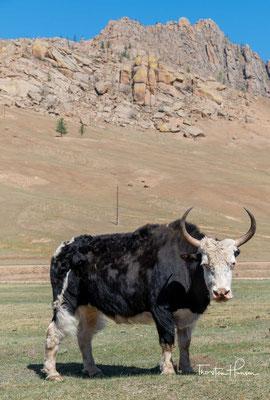 """Wegen seiner grunzähnlichen Laute wird der Yak auch (Tibetischer) Grunzochse genannt. Die Bezeichnung """"Yak"""" stammt aus der tibetischen Sprache. Im Tibetischen wird allerdings nur das männliche Tier གཡག་ g.yag genannt"""