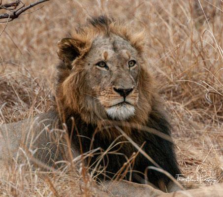 Löwen erreichen ihre soziale Geschlechtsreife im Alter von zwei bis drei Jahren, ihre physiologische in 18 Monaten.