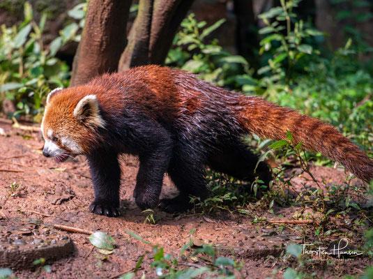 In der Gestalt sehen sie einem Waschbären ähnlich, sind aber schlanker.