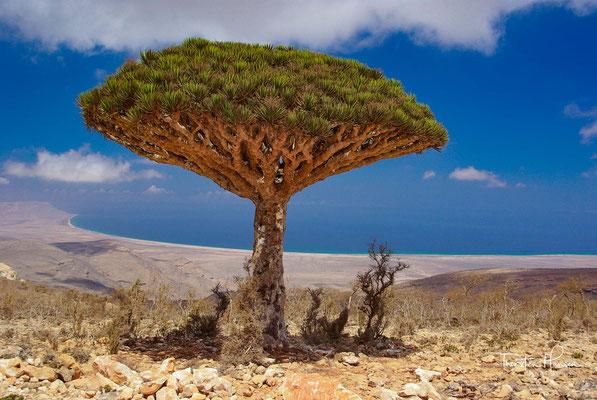 Drachenbaum - Dracaena cinnabari auf Sokotra