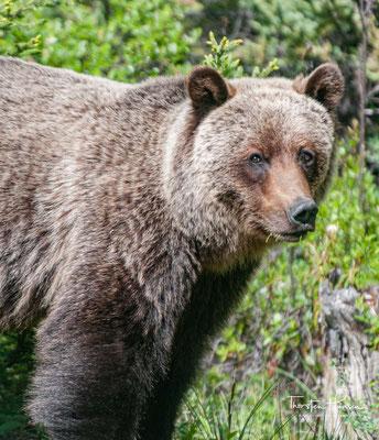 Der Grizzlybär (Ursus arctos horribilis), seltener auch Graubär genannt, ist eine in Nordamerika lebende Unterart des Braunbären.