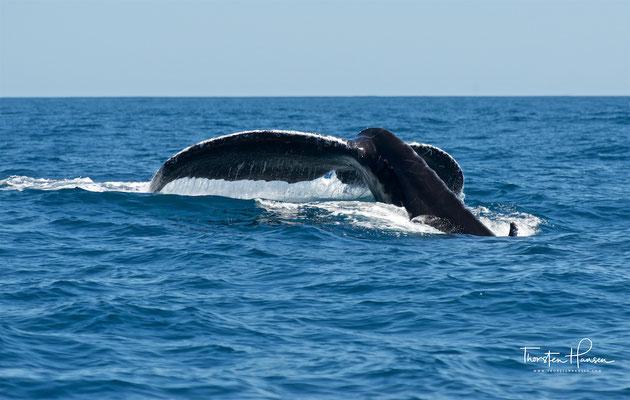 Die Nahrung der Buckelwale besteht vor allem aus Krill und zu einem kleinen Teil auch aus Fischen, letzteres vor allem im nördlichen Verbreitungsgebiet.
