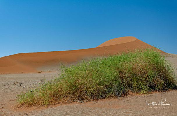 ...in Richtung des Atlantiks fließende Fluss Tsauchab beim Sossusvlei in den Sanddünen der Namib-Küstenwüste endet bzw. versandet – etwa 50 km vom Meer entfernt.