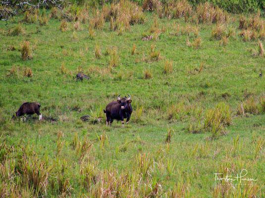 Der Gaur ist das größte aller Wildrinder. Die Färbung der Gaur ist dunkelbraun oder schwarz mit Läufen, die bis zu den Knien weiß sind. Auffallend an der Kopfform ist die breite, muldenförmige Vertiefung der Stirn sowie die abstehenden Ohren.