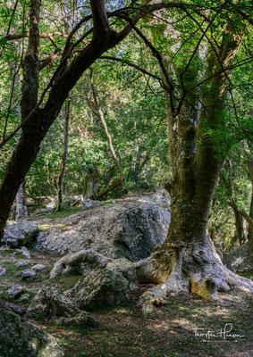 Ombubaum (Phytolacca dioica) - Die Zweihäusige Kermesbeere ist ein Symbol Uruguays, Argentiniens sowie der Gauchos.