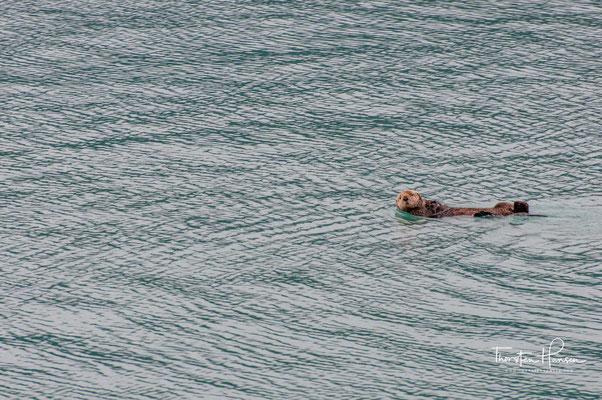 Der Buckelwal (Megaptera novaeangliae) ist ein oft in Küstennähe vorkommender Vertreter der Furchenwale.