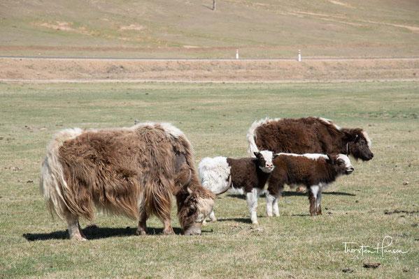 Er liefert Milch, Fleisch, Leder, Haar und Wolle. Sein Kot dient als Brennmaterial. Nach wie vor wird der Yak als Last- und Reittier genutzt