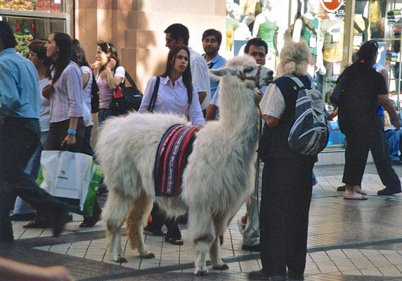 Lama in Santiago de Chile