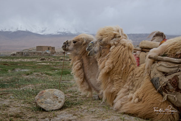 Kamele am Karakol-See