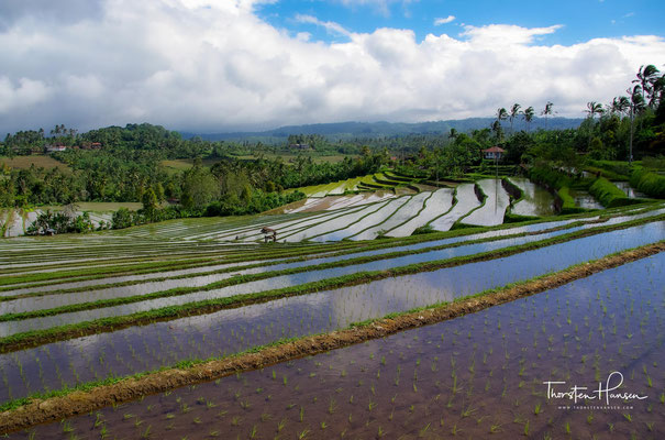 Neben Reis wachsen beidseits des Weges auch Kakaobäume, Bohnen, Chilisträucher und Zitronengras.