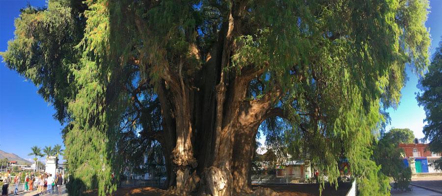 Der Baum von Tule, ist ein etwa 1400–1600 Jahre alte mexikanische Sumpfzypresse