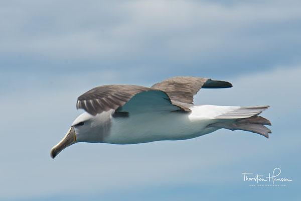 Der Buller-Albatros (Thalassarche bulleri, Syn.: Diomedea bulleri) ist eine Vogelart aus der Familie der Albatrosse (Diomedeidae). Buller-Albatrosse sind kleine, leicht gebaute, und überwiegend schwarzweiße Albatrosse.