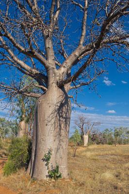Baobab in den Kimberleys