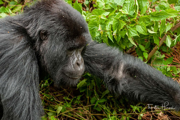 Die flächendeckende Entwaldung und der illegale Holzeinschlag macht auch vor den Grenzen zum Virunga Nationalpark keinen Halt.