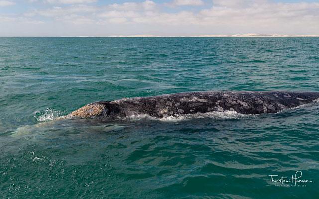 Die Pazifische Küste von Baja California ziehen jeden Herbst die Grauwale an. Die riesigen Säugetiere reisen Tausende von Kilometer, um sich hier zu Paaren und Ihren Nachwuchs gross zu ziehen.
