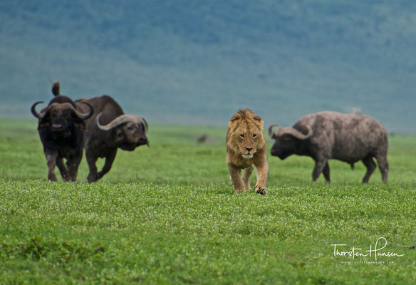 Löwen und Büffel im Ngorongoro-Krater