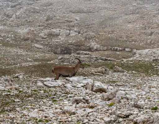 In Südtirol gibt es nur wenige Steinböcke, die in freier Wildbahn leben. Die Chance einen Steinbock in freier Wildbahn zu sehen ist sehr gering.