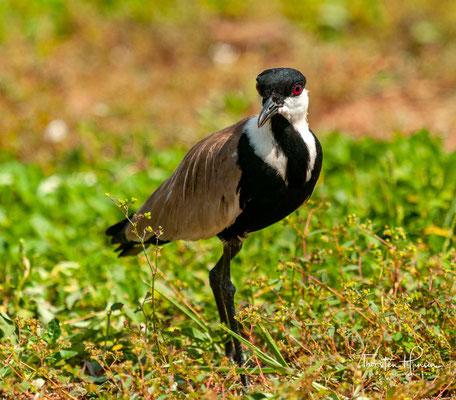 Der Spornkiebitz (Vanellus spinosus, Syn.: Hoplopterus spinosus) ist eine monotypische Vogelart aus der Familie der Regenpfeifer (Charadriidae).