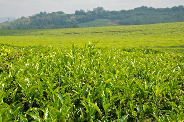 Teeplantage in Tanzania