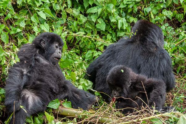 Die zweite Population lebt in Uganda in den Wäldern des Bwindi Impenetrable-Nationalparks.