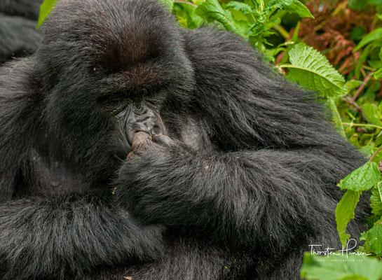Der Park wurde 1983 zum Biosphären-Reservat erklärt. Dian Fossey wurde 1985 von Unbekannten ermordet und auf dem Gorillafriedhof nahe ihrer Forschungsstation beigesetzt.