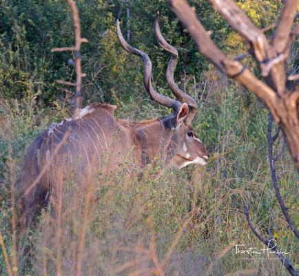 Kudu im Bwabwata-Nationalpark