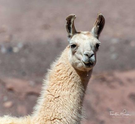 Das Lama wird in unzugänglichen Regionen der Anden immer noch als Lasttier verwendet. Insgesamt werden in Südamerika heute etwa drei Millionen Lamas gehalten, vorwiegend wegen ihres Fleisches und ihrer Wolle