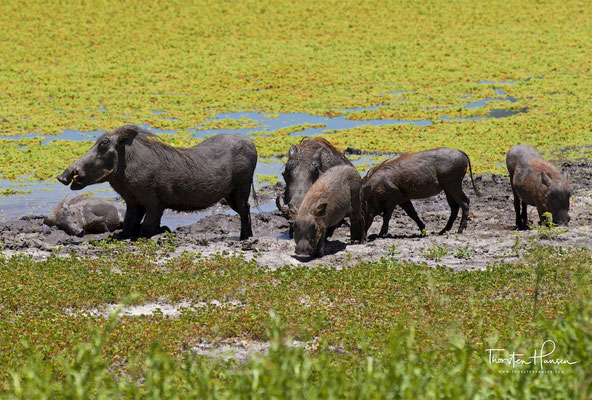 Warzenschweine im Tarangire-Nationalpark