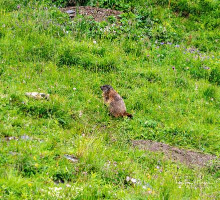 Ab und an pfeift ein Murmeltier Alarm wenn ich ihnen zu nahe komme. Aus der Entfernung sehe ich heute einige dieser scheuen Pelztiere.