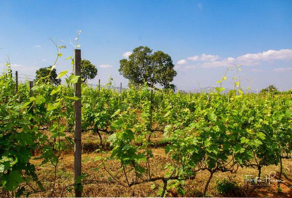 Myanmar's Shan Staat bringt herrvorragende Weine hervor. Traubensorten wie Dornfelder, Shiraz, Tempranillo und Sauvignon gedeien prächtig. Perfekte klimatische Verhältnisse und fruchtbare Böden sind perfekt für die Trauben.