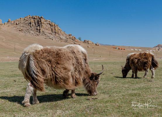 Der oder das Yak (Bos mutus), auch Jak geschrieben, ist eine in Zentralasien verbreitete Rinderart. Er ist eine der fünf Rinderarten, die domestiziert wurden (s. Hausrind).