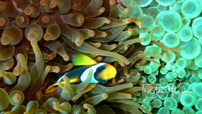 Anemonenfisch Blue Hole