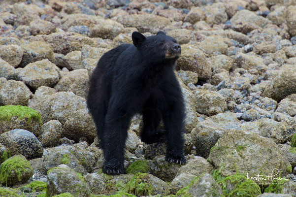 Schwarzbären Safari in Tofino, Vancouver Island