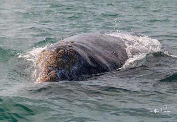 Besonders geeignet für eine Wal-Safari sind die Lagunen von Guerrero Negro, Bahía Magdalena und San Ignacio, an der Westküste der Baja California.