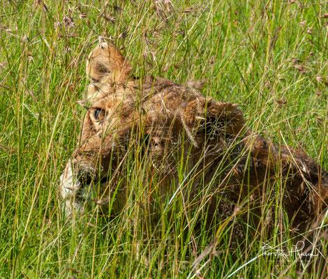 Löwe in der Massai Mara