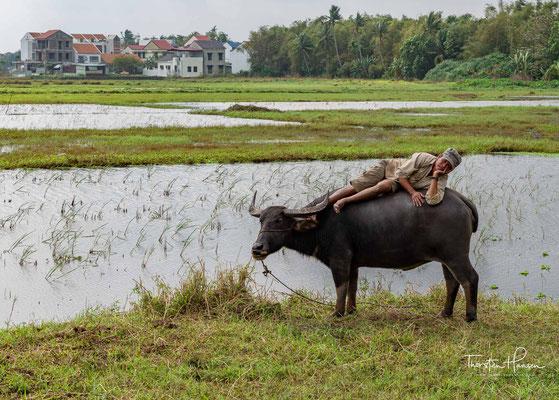 Wasserbüffel in den Reisfeldern von Hoi An