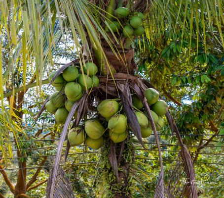 Exportiert wird neben mehr als zwei Millionen Kokosnüssen monatlich – und sie gelten als die besten in Thailand – vor allem das aus den Kokosnüssen gewonnene Kopra.