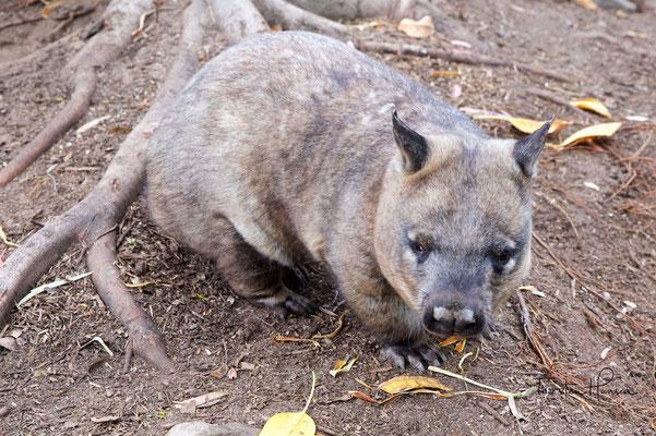 Wombat im Featherdale Wildlife Park