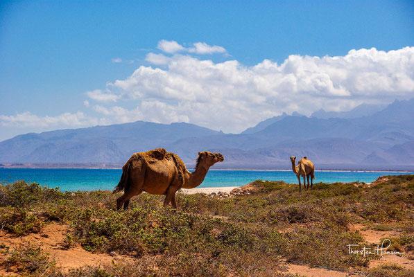 Kamele auf der Insel Sokotra