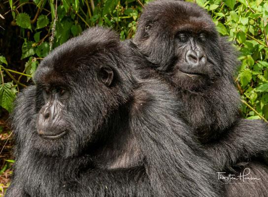 Insgesamt leben noch rund 1000 Tiere  in den Regenwäldern Ostafrikas – auf einer Höhe von bis zu 4300 Metern.
