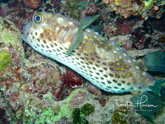 Pufferfish Eel Garden