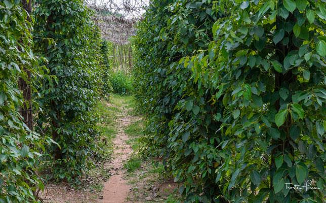 Der berühmte Kampot Pfeffer. Erste Hinweise auf den Pfefferanbau in Kambodscha gehen zurück ins 13. Jahrhundert. Dort finden sich Erwähnungen in den Aufzeichnungen des chinesischen Forschers Tcheou Ta Kouan.