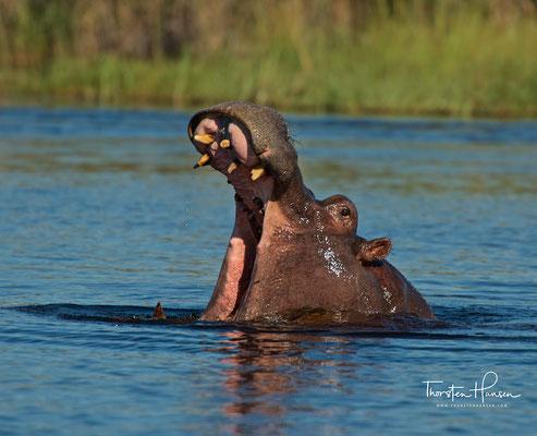 Flusspferde im Okavango