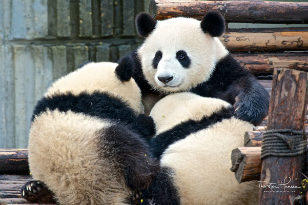 Chengdu Research Base of Giant Panda Breeding