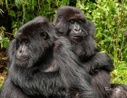 Berggorillas sind die am stärksten bodenbewohnenden aller Gorillapopulationen und klettern nur selten auf Bäume. Am Boden bewegen sie sich wie alle afrikanischen Menschenaffen im Knöchelgang fort.